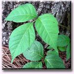 6 Natural Poison Ivy Remedies