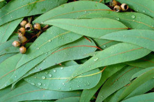 The Many Eucalyptus Uses