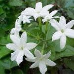 Jasmine Health Benefits