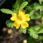 What Is Damiana?