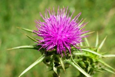 Milk Thistle For Optimal Liver Health