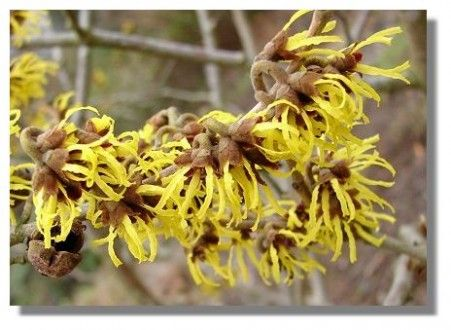Witch Hazel – Healing Skin Problems For Thousands Of Years