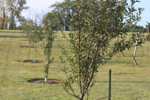 The trees in our three-year old mini-orchard are thriving thanks in part to plenty of watering