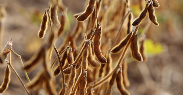 Soybeans growing in Germany. Image via Daniel Roland/AFP/Getty Images.