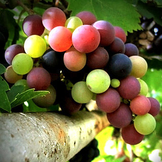 Grapeseed Extract Kills 76% of Leukemia Cancer Cells in 24 Hours