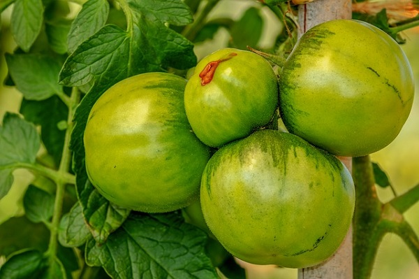 Most tomatoes are picked before they're ripe and treated with ethylene gas to turn them red.