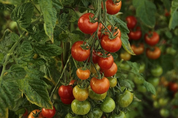 Despite the potential health dangers, tomatoes are packed with nutritional benefits.