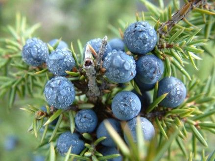 Juniper Berry Benefits