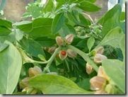 ashwagandha herb - natural cures for hypothyroidism