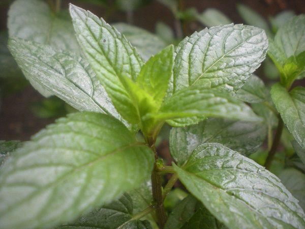 You can also have peppermint tea as natural cures for acid reflux.