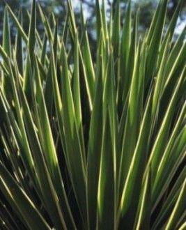 Yucca – a Wonder Plant