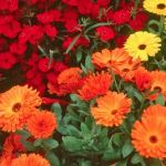 What is Calendula?