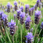 Many Benefits of Lavender