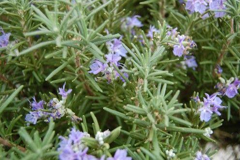 16 Health Benefits of Rosemary