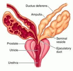 10 Amazing Functions of the Prostate Gland