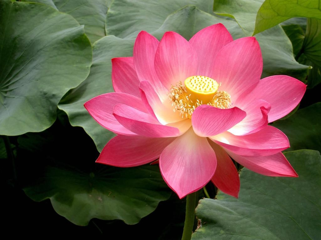 Indian Lotus And Weight Loss Be Well Buzz