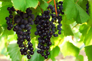 Grapes – A Natural Detoxifier