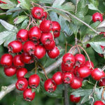 Hawthorn Berries For Your Heart
