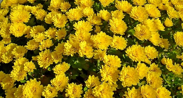Chrysanthemum flowers have surprising health benefits.