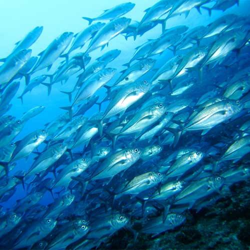 contaminated-fish-mackerel