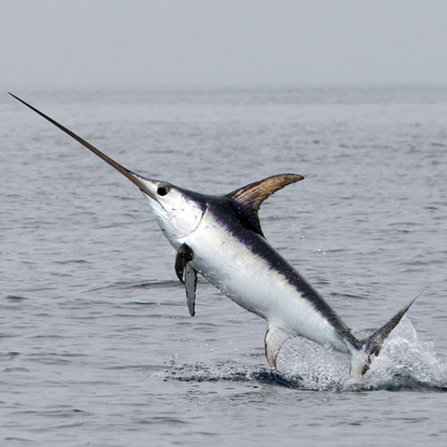 contaminated-fish-sword