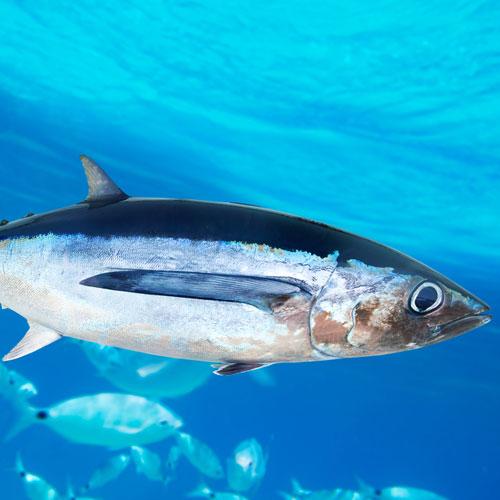 contaminated-fish-tuna