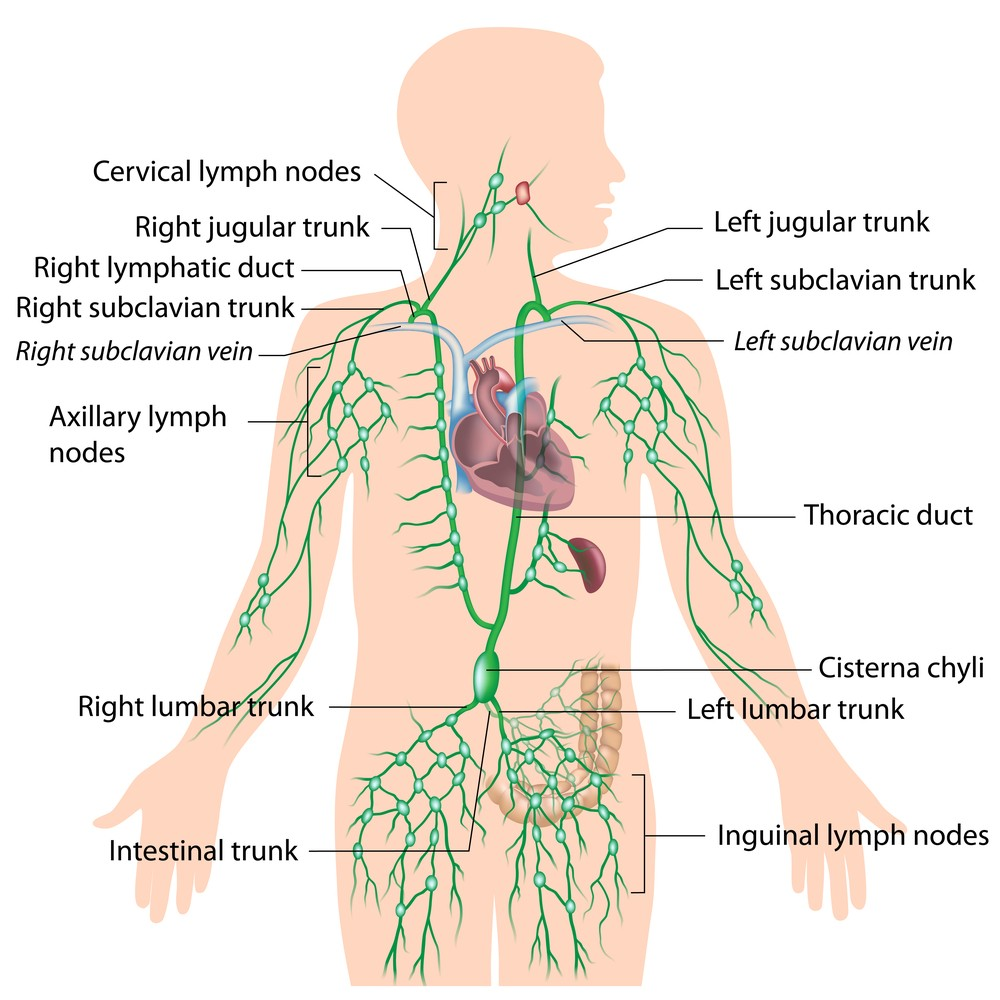 Diagram of the Lymphatic system without missing link Via: Alila Medical Media
