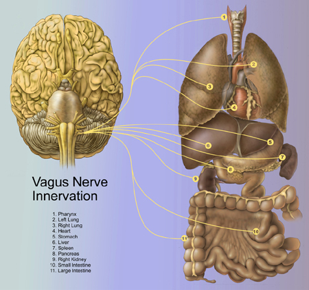 vagus-nerve-innervation