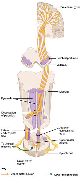 Corticospinal_Pathway