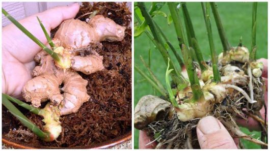 How to Grow Ginger Indoors in 6 Easy Steps