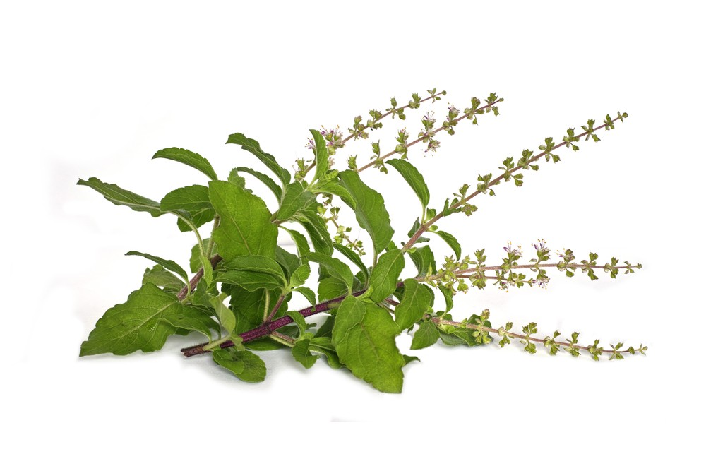 Photo: Holy basil. Via: NENG TIEO | Shutterstock.