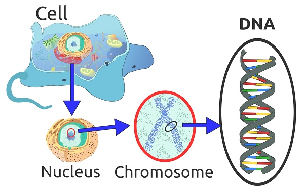 Cell-chromosome-dna