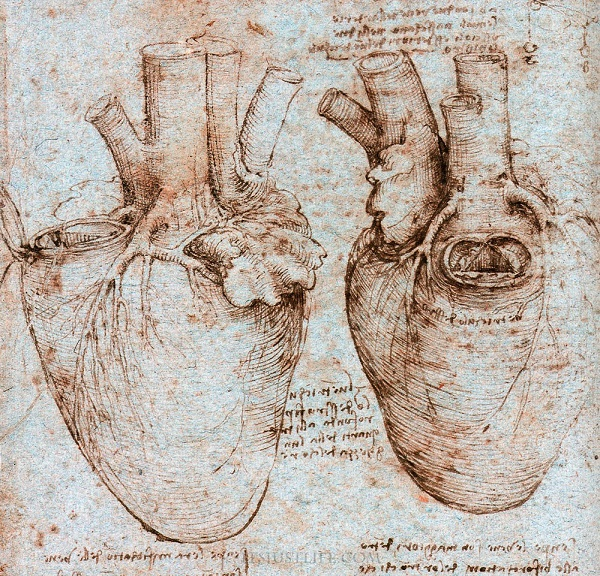 Cardiac anatomy as drawn by Leonardo Da Vinci.