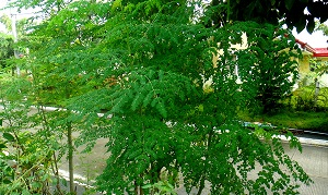 Moringa Health Benefits: A Moringa Tree