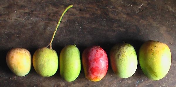 The Roots of Mangoes Around the World