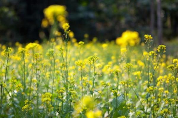 Spring Foods: Mustard Greens