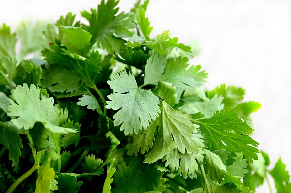 Coriander oil, the volatile extract of cilantro, is an incredibly healthy and versatile essential oil.