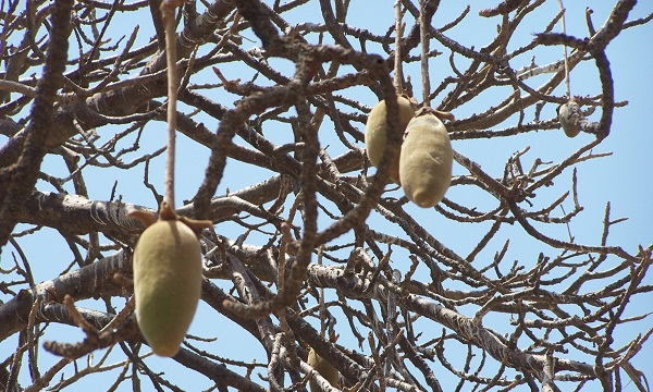 Baobab fruit hangs from the branch of the baobab tree for six months or more, baking in the sun.