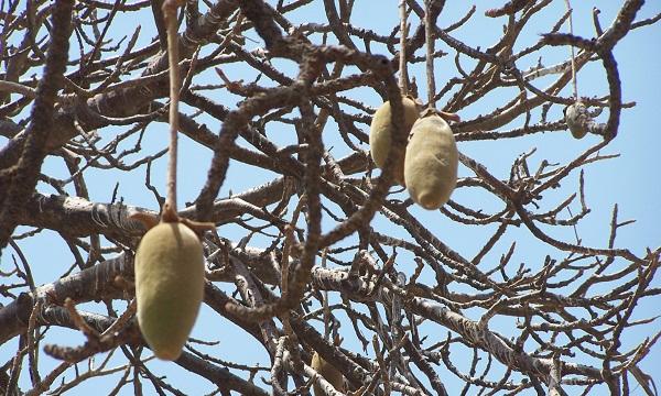Baobab est suspendu à la branche du baobab pendant six mois ou plus, cuit au soleil. &quot;Width =&quot; 600 &quot;height =&quot; 360 &quot;/ &gt; </p> <p> <strong> <span style=