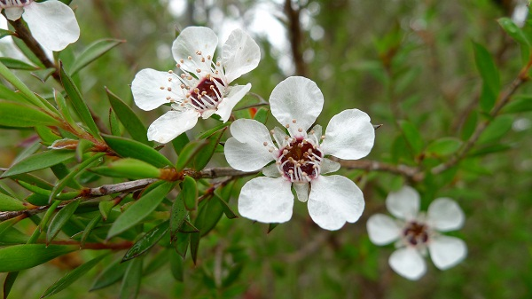 Tea tree oil is obtained by steam distillation of the leaves of Melaleuca alternifolia.