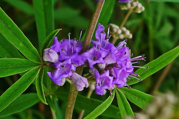 Chasteberry is a pretty plant with lilac flowers that are sage-scented.