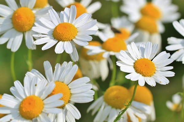 Chamomile essential oil soothes inflammation, acne, and blemishes and is a great stress reliever.