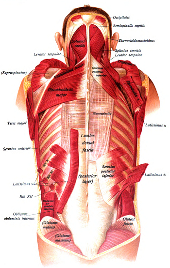 Fascia is connective tissue that is found throughout the body, from head to toe.