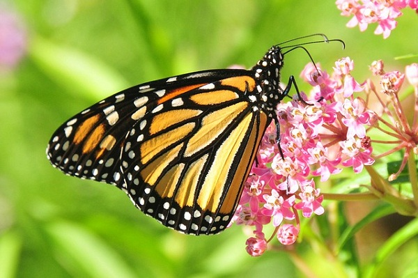 Growing a patch of milkweed in your backyard will attract monarch butterflies and other vital pollinators.