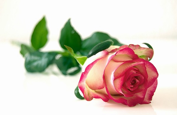 Rose essential oil has been used for centuries.