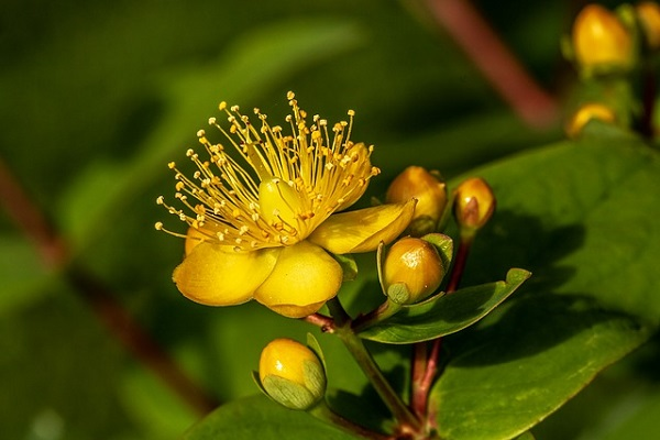 St. John's Wort is a natural herbal remedy that may help lift depression.